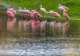 Spoonbills, Myakka RIver, Sarasota, Florida