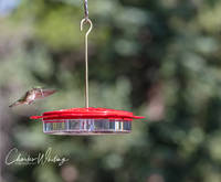 Broad-tailed Hummingbird, Hummingbird, Colorado