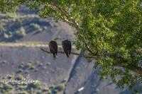 American Bald Eagles, Colorado, Summit County, Green Mountain Reservoir