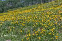 Aspen Sunflowers, Indian Paintbrush, Ohio Pass