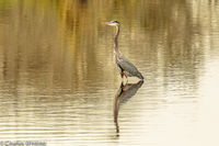 Great Blue Heron, Heron, Myakka River, Sarasota, Florida