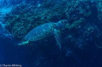 Hawksbill Turtle, Sea Turtle, Turtle, Cozumel, Mexico