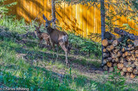 Mule Deer, deer, doe, fawn, Evergreen, Colorado
