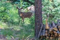 Mule Deer, Fawn, Deer
