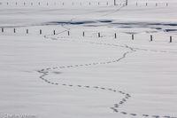 Animal tracks, tracks, snow, white, Steamboat Springs, Colorado