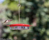 Broad-tailed Hummingbird, Hummingbird, Colorado