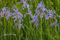 Rocky Mountain Iris, Iris, Summit County, Colorado