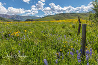 Purple Lupine, Aspen Sunflowers, Crested Butte, Colorado