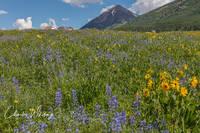 Purple Lupine, Aspen Sunflowers, Crested Butte, Colorado, Mount Crested Butte
