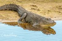 American Alligator, Alligator, Myakka River, Sarasota, Florida