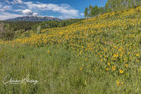 Aspen Sunflowers, Green Gentian, Anthracite Range, Ohio Pass, Colorado
