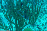 Caribbean Reef Squid, Little Cayman