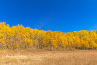 Aspen Leaves, Kebler Pass, Gunnison County, Colorado