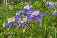 Blue Columbine, Lower Cataract Lake, Summit County, Colorado