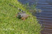 Iguana, Deerfield Beach, FL