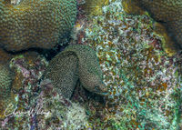 Brown Spotted Eel, Coral Reef, Bonaire, Netherlands Antilles