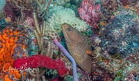 Goldentailed Moray Eel, coral reef, Boynton Beach, Florida