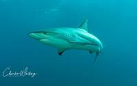 Caribbean Blacktip Reef Shark, shark, Cay Sal Banks, Bahamas,