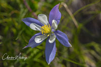 Colorado Blue Columbine, Lower Cataract Lake, Summit County, Colorado