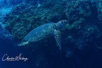 Hawksbill Turtle, Cozumel, Mexico