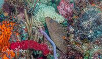 Goldentailed Moray Eel, coral reef, Boynton Beach Ledge, Florida