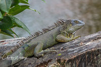Green Iguana, Deerfield Beach, Florida