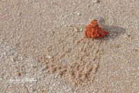 Hermit Crab, Bikirose Beach, Bikini Atoll, Marshall Islands
