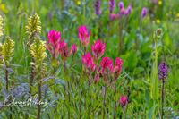 Indian Paintbrush, Flowers, Shrine Pass, Colorado