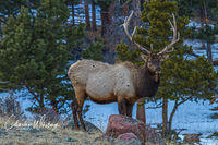 Bull Elk, West Horseshoe Park, Rocky Mountain National Park, Colorado