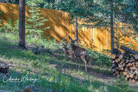 Mule Deer, doe, fawn, Evergreen, Colorado