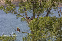 Eagles, Hatchlings, Green Mountain Reservoir, Summit County, Colorado