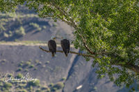 American Bald Eagles, Colorado, Summit County, Green Mountain Reservoir