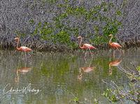 Flamingos, Bonaire, Netherlands Antilles