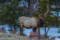 Bull Elk, West Horseshoe Park, Rocky Mountain National Park