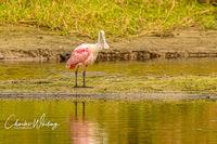 Roseate Spoonbill, Myakka River, Sarasota, Florida