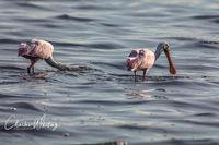 Florida, Myakka River, Sarasota, Roseate Spoonbills