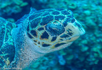 SCUBA, Underwater Photography, Turks and Caicos Islands, Hawksbill Turtle