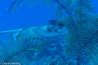 SCUBA, Underwater Photography, Turks and Caicos Islands, Southern Stingray
