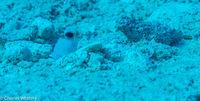 SCUBA, Underwater Photography, Turks and Caicos Islands, Yellowhead Jawfish