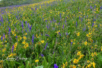 wild flowers, blue larkspur, yellow Aspen Sunflowers, Crested Butte, Colorado