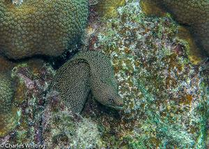 Brown Spotted Eel