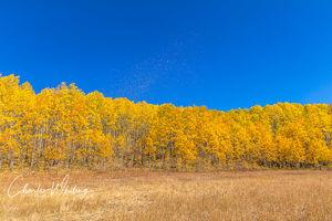 Blowing Aspen Leaves