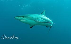 Caribbean Blacktip Reef Shark