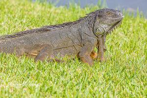 Large Green Iguana