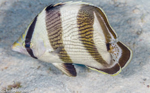 Banded Butterflyfish (1)