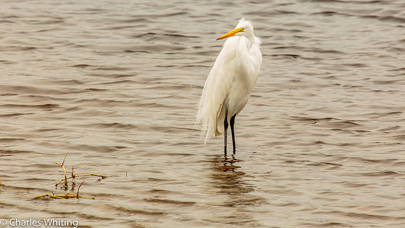Snowy Egret, Myakka River, Sarasota, Florida, photo
