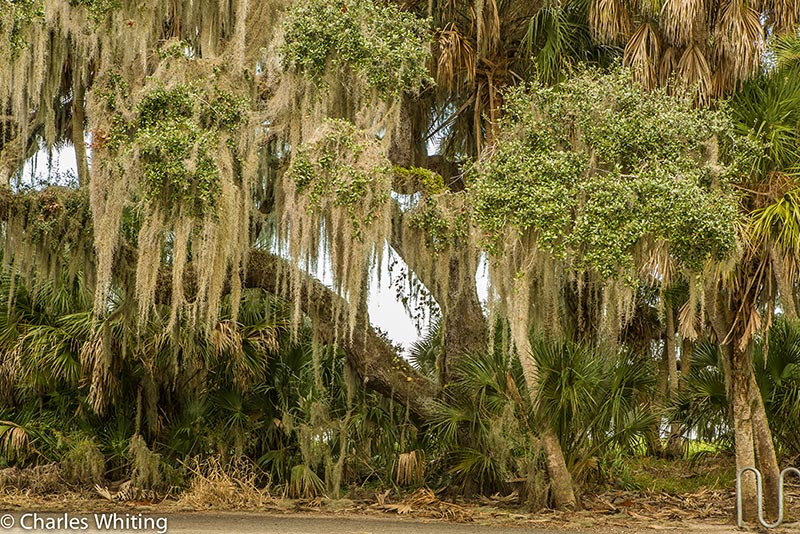 Oak tree, Spanish Moss, Myakka River, Sarasota, Florida, photo