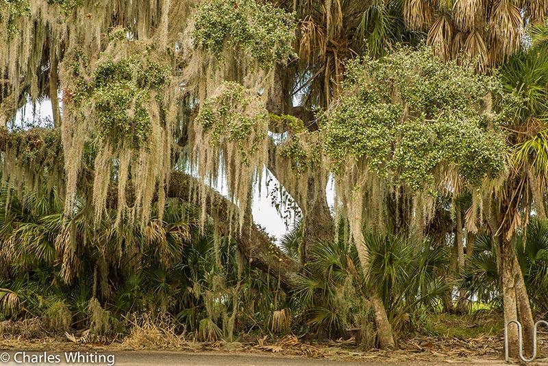 Oak tree, Spanish Moss, Myakka River, Sarasota, Florida, photo