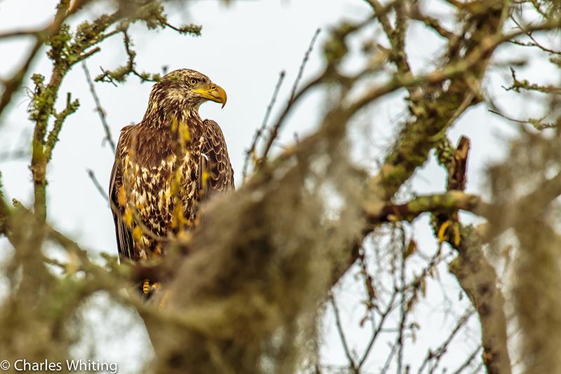 Bald Eagle, Spanish moss, Oak tree, Myakka River, Sarasota, Florida, photo
