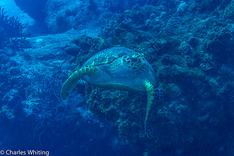 Hawksbill Turtle, Sea Turtle, Turtle, Cozumel, Mexico, photo